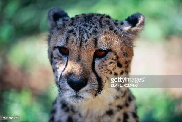 Cheetah Felidae
