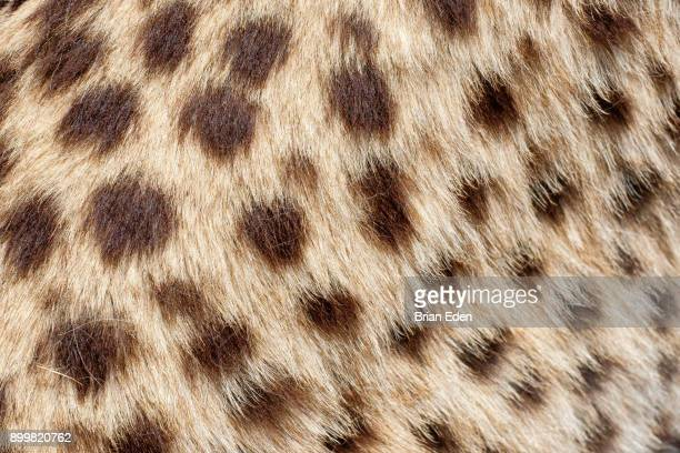 cheetah fur texture close up - fur stock pictures, royalty-free photos & images
