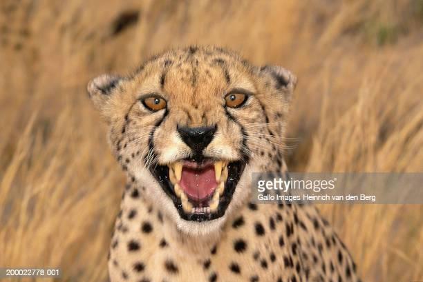 Cheetah (Acinonyx jubatus) growling