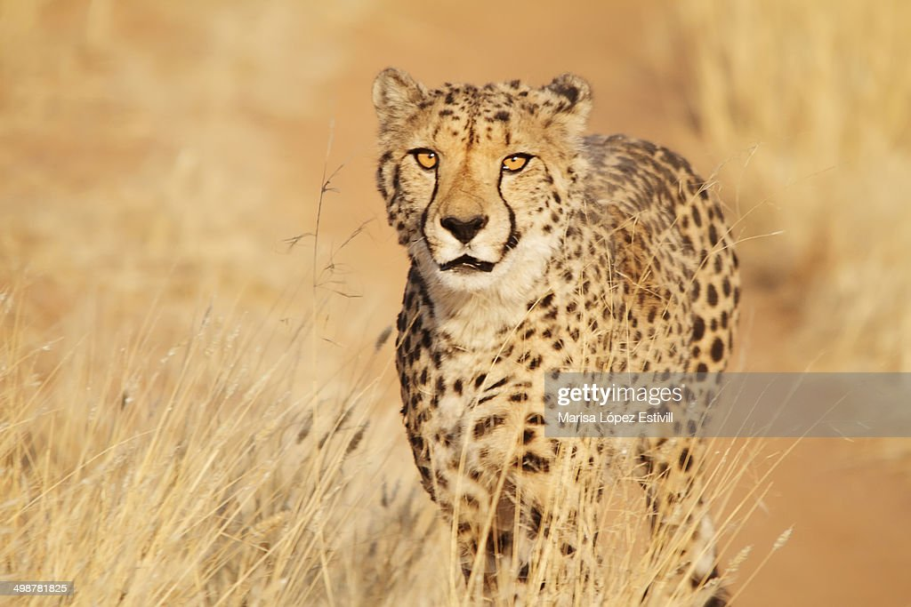 Cheetah / Guepardo : Stock Photo