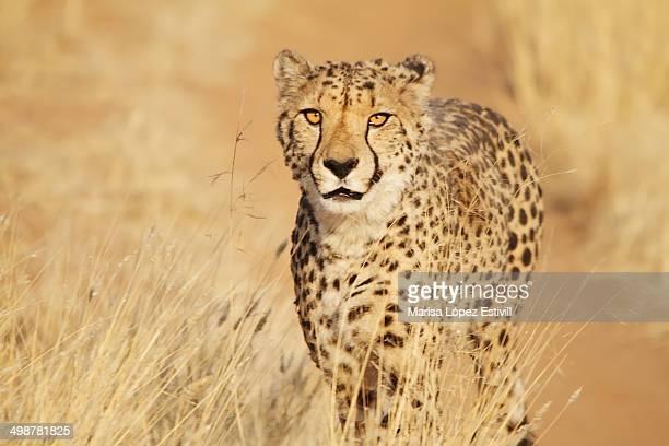 Cheetah / Guepardo