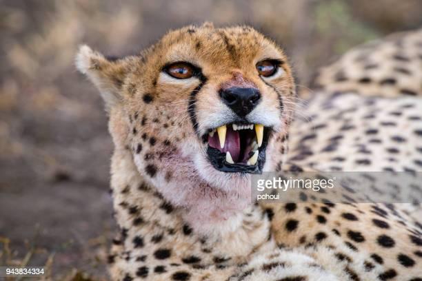 Cheetah head close-up, Africa