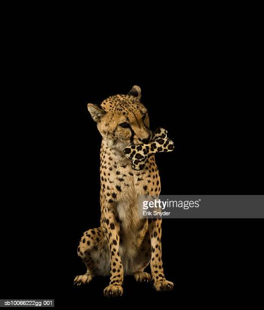 Cheetah holding spotted bone in mouth
