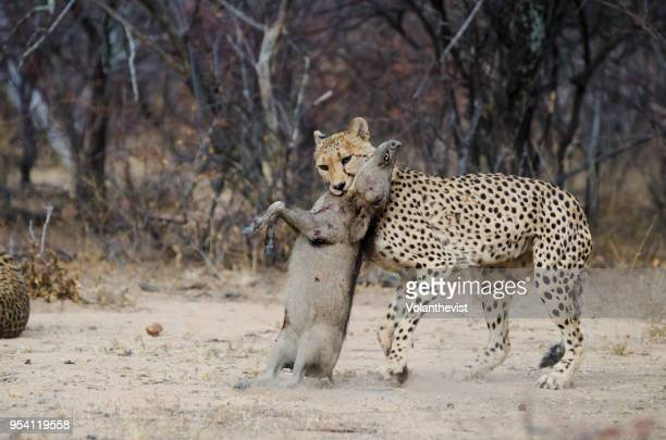 cheetah hunting a baby warthog at etosha national park, namibia - carnivora stock pictures, royalty-free photos & images