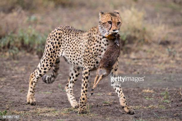 Cheetah hunting antelope in Africa