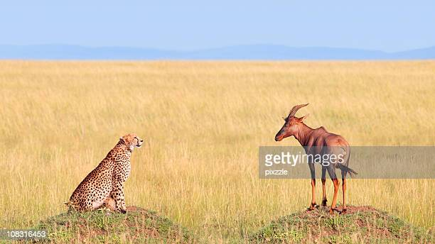 Cheetah Hunting Antelope in Africa Safari Landscape