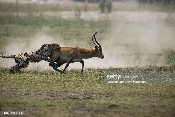 cheetah (acinonyx jubatus) hunting impala, side view - animals hunting stock pictures, royalty-free photos & images