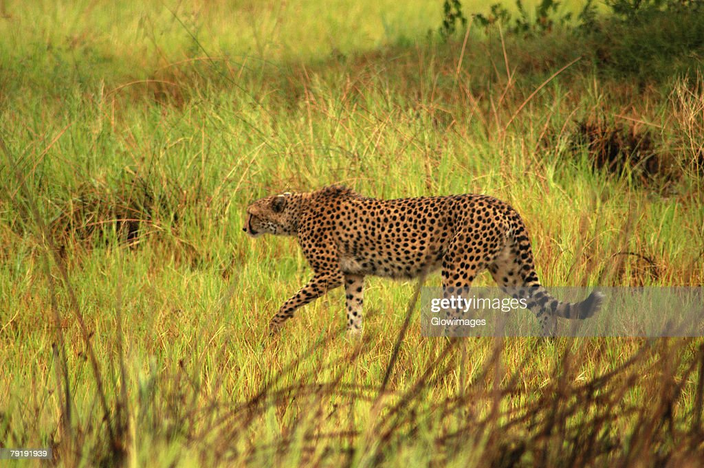Cheetah (Acinonyx jubatus) hunting in a forest, Okavango Delta, Botswana : Stock Photo