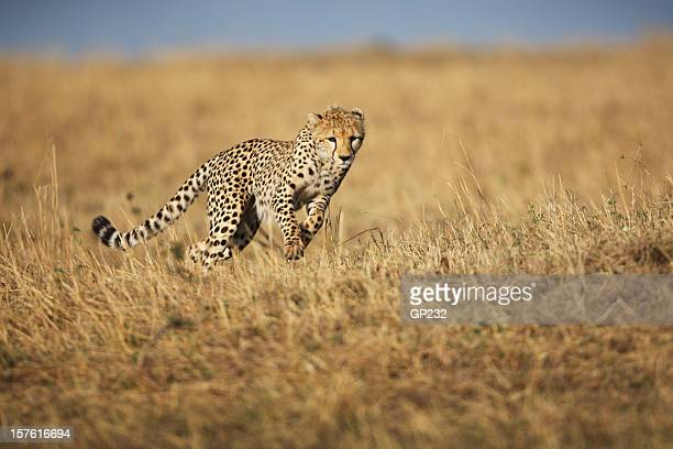 cheetah hunting - animals hunting stock pictures, royalty-free photos & images