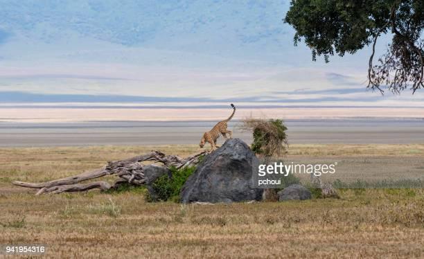cheetah in africa - tanzania imagens e fotografias de stock