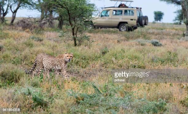 Cheetah in Africa
