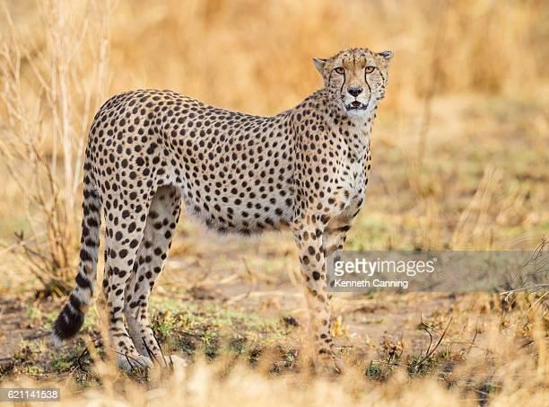 Cheetah in Serengeti National Park, Tanzania Africa