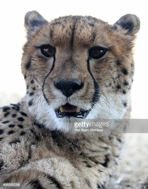A cheetah is seen during the press preview of the African Savanna Area ahead of its full open at Yokohama Zoorasia on March 17 2015 in Yokohama...