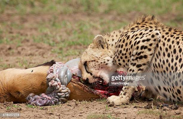 cheetah kill - dead deer stock photos and pictures