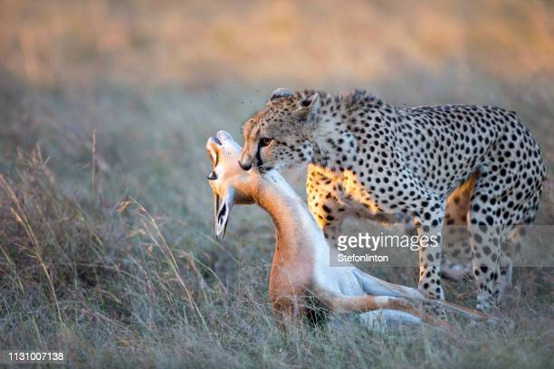 cheetah kills a gazelle - killing stock pictures, royalty-free photos & images