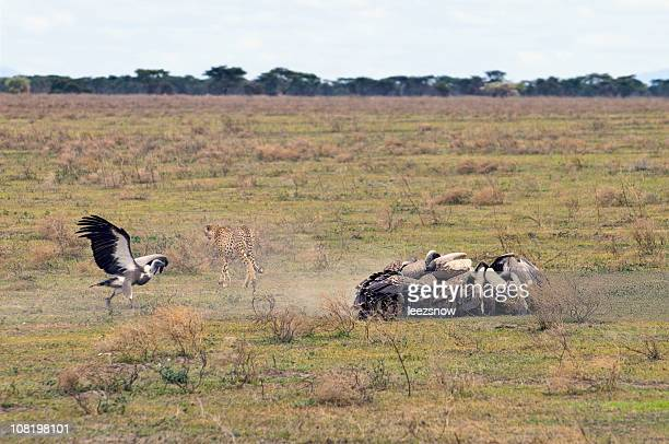 Cheetah mata y Vultures enjambre