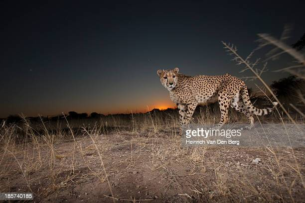 a cheetah laying on the ground close up. - dark panthera stock pictures, royalty-free photos & images