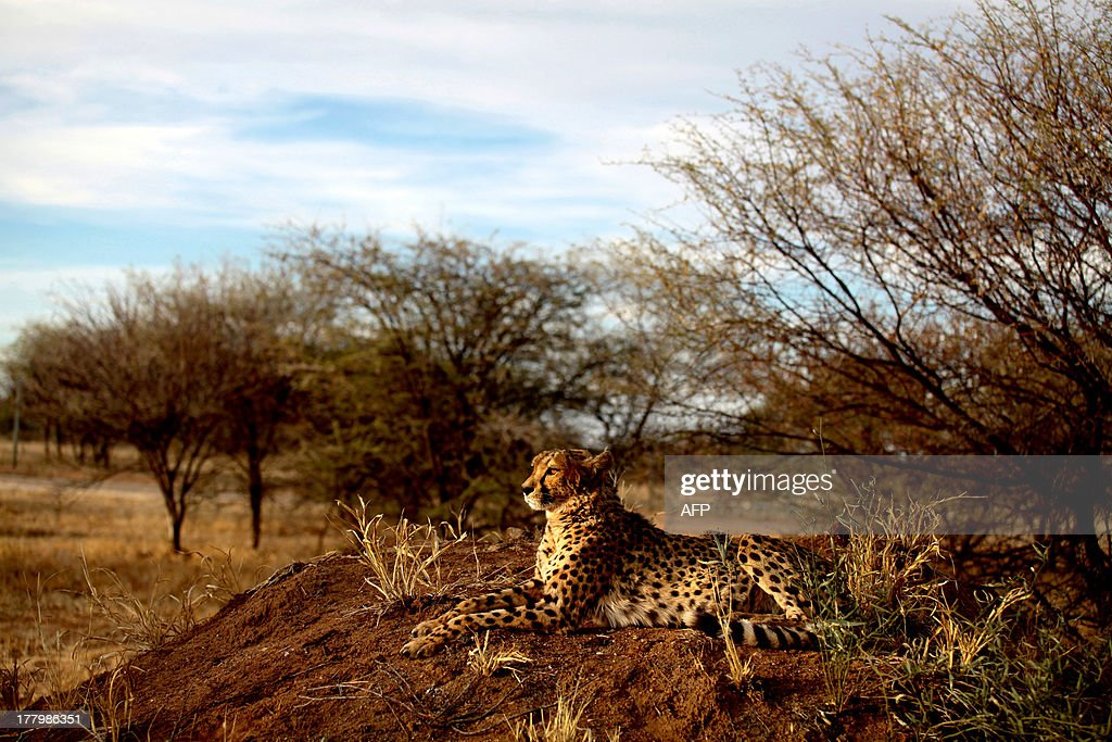 NAMIBIA-CHEETAH-LIVESTOCK-WILDLIFE-ANIMALS- : News Photo
