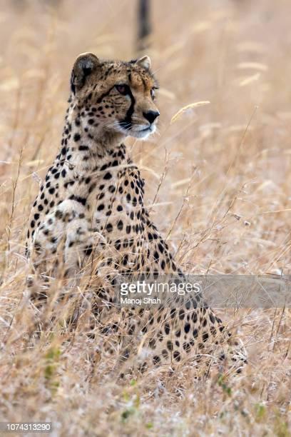 Cheetah looking for prey in Laikipia savannah.
