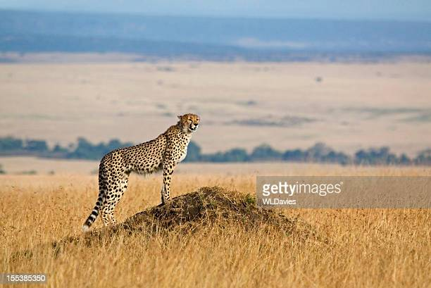 A cheetah looking for prey in the wild