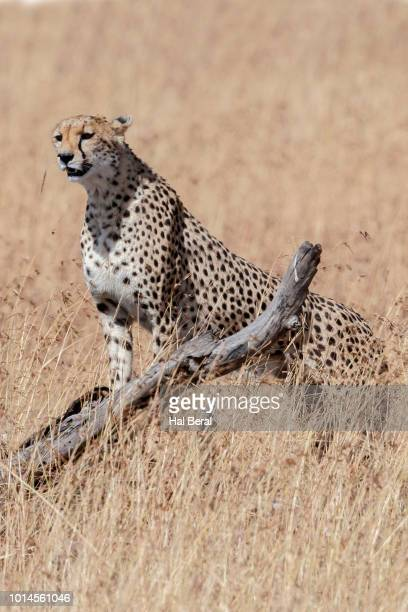 cheetah looking for prey - pawed mammal stock pictures, royalty-free photos & images