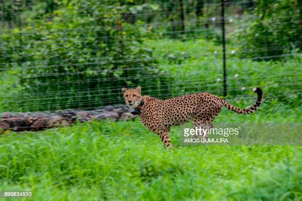 A cheetah looks on from inside a holding enclosure at Liwonde National Park in southern Malawi on December 27 2017 / AFP PHOTO / Amos Gumulira