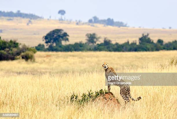A cheetah (Acinonyx jubatus) looks out over Kenyas Masai Mara.
