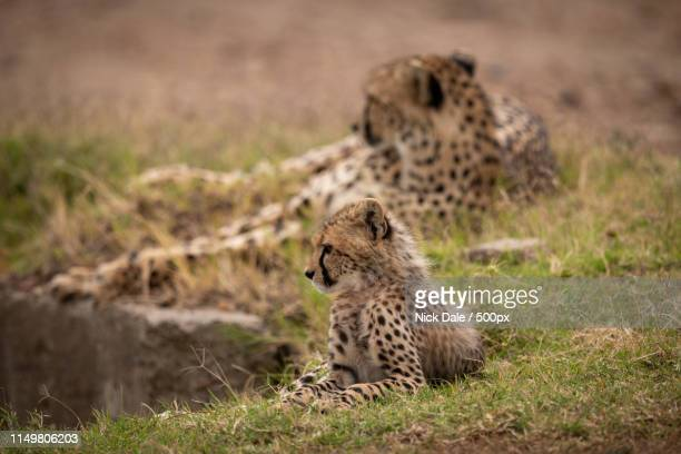 Cheetah Lying Behind Cub On Grassy Bank
