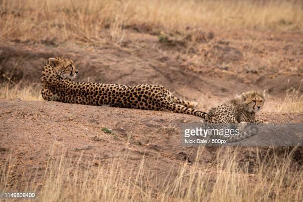 Cheetah Lying Beside Cub On Dirt Mound
