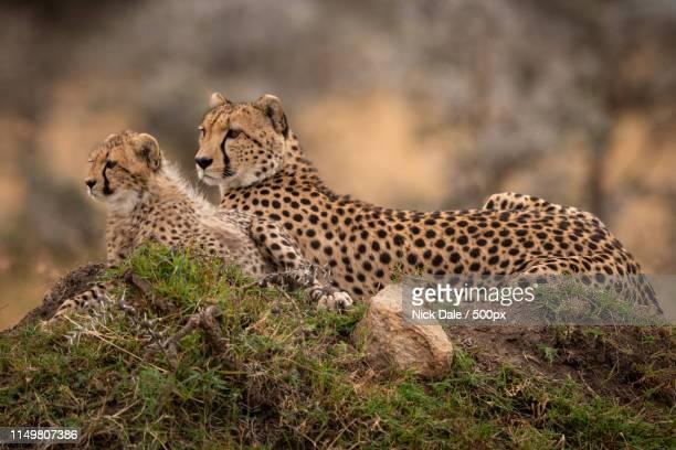 Cheetah Lying With Cub On Grassy Mound