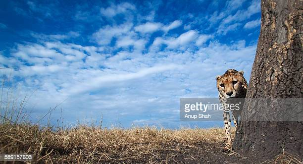 Cheetah male smelling a tree