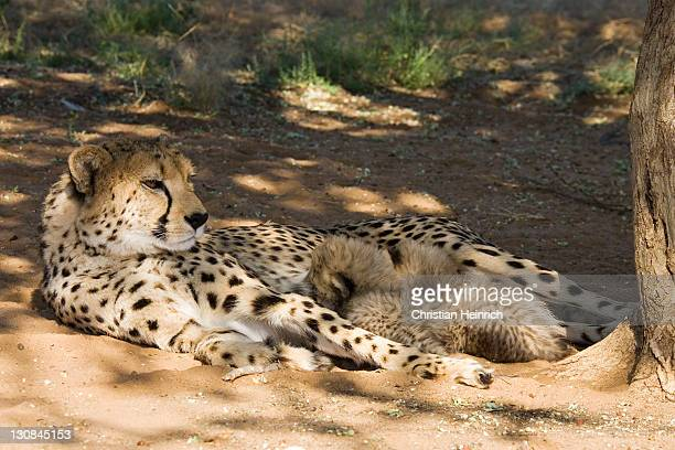cheetah mother with cups, namibia, africa - woman breastfeeding animals stock photos and pictures