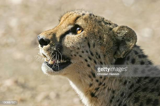cheetah (acinonyx jubatus), namibia, africa - vista lateral stock pictures, royalty-free photos & images