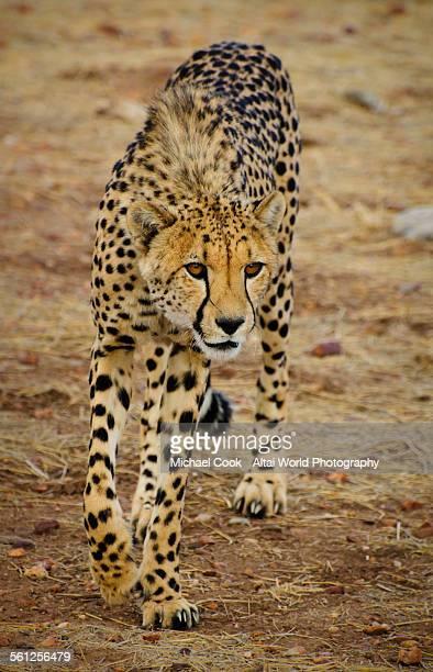 Cheetah, Ojitotongwe, Namibia