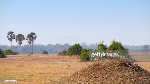 cheetah on a mound in liwonde national park,malawi - malawi stock pictures, royalty-free photos & images