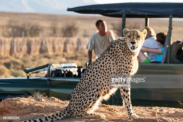 Gepard auf einer safari game drive