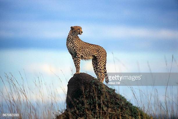 cheetah on a termite mound - cheetah stock pictures, royalty-free photos & images
