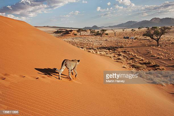 cheetah (acinonyx jubatus) on dune with desert landscape, namibia, southern africa - namibia stock-fotos und bilder