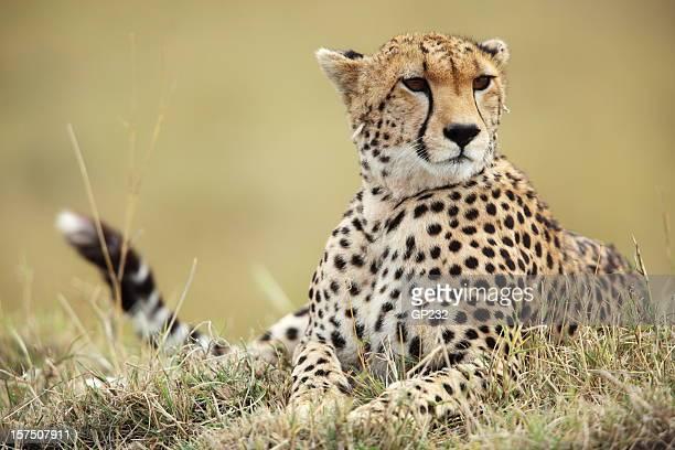 Gepard auf dem mound