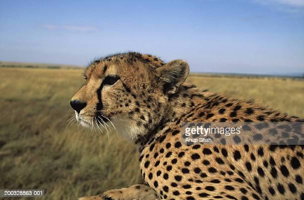 Cheetah (Acinonyx jubatus) on savannah, Kenya, close-up