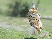 Cheetah on the hunt