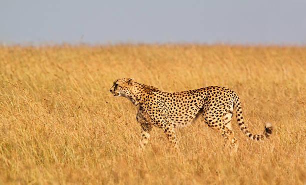 Cheetah Panorama