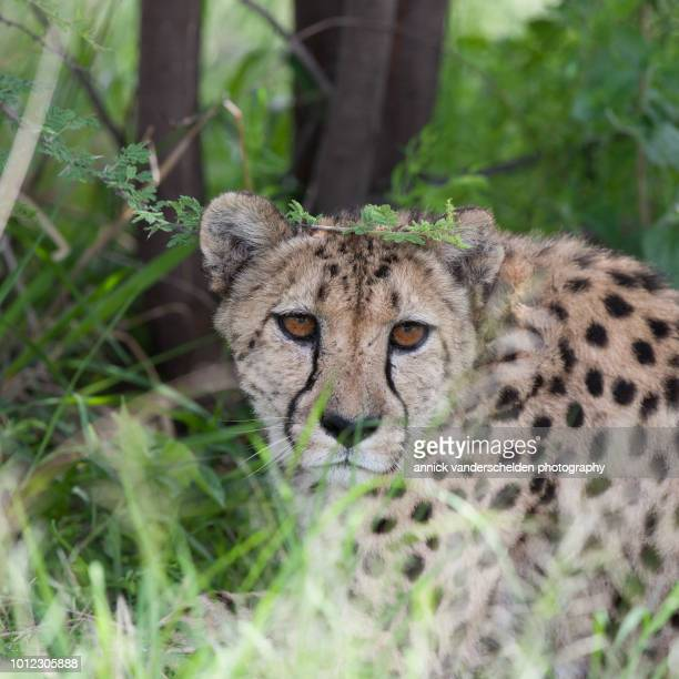 cheetah - carnivora stock photos and pictures