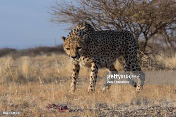 cheetah - iñaki respaldiza stock pictures, royalty-free photos & images