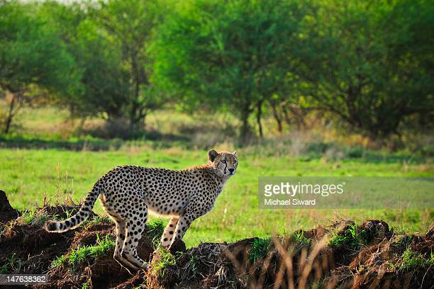 cheetah - michael siward stock pictures, royalty-free photos & images