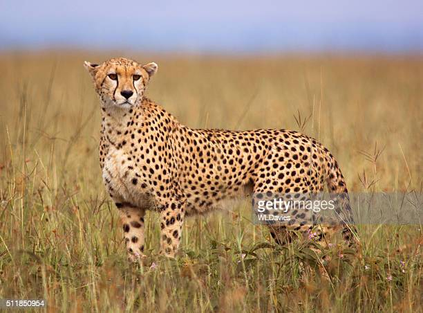 cheetah - cheetah stock pictures, royalty-free photos & images