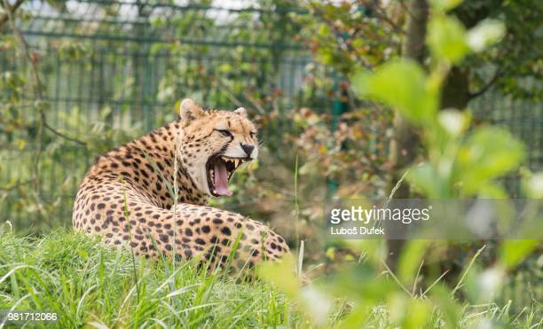 cheetah - czech hunters stock pictures, royalty-free photos & images