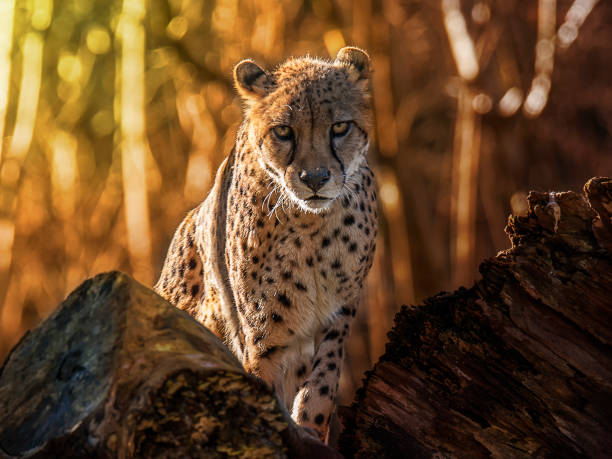 Cheetah - Fine Art prints