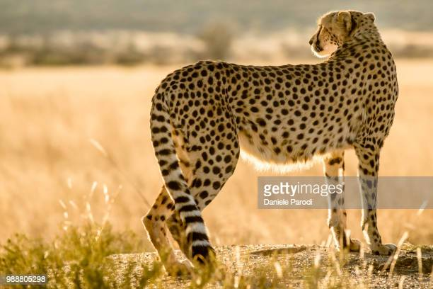 cheetah - animal body stock pictures, royalty-free photos & images
