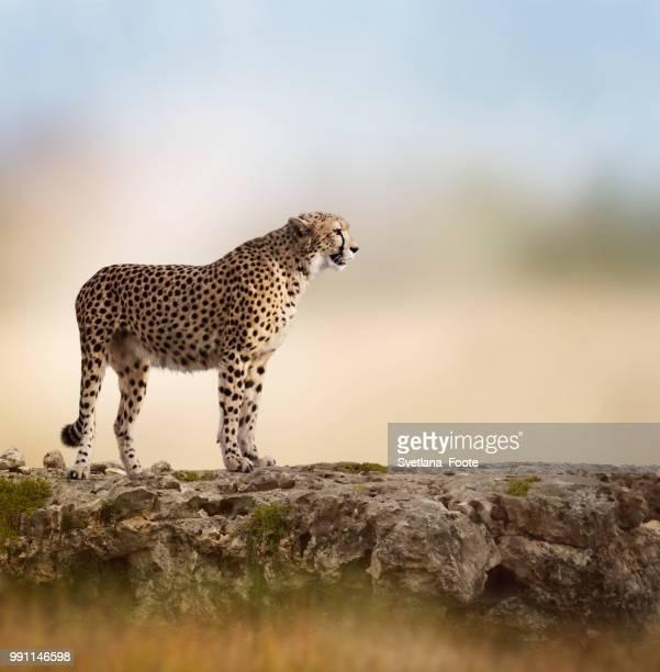 cheetah - svetlana stock photos and pictures
